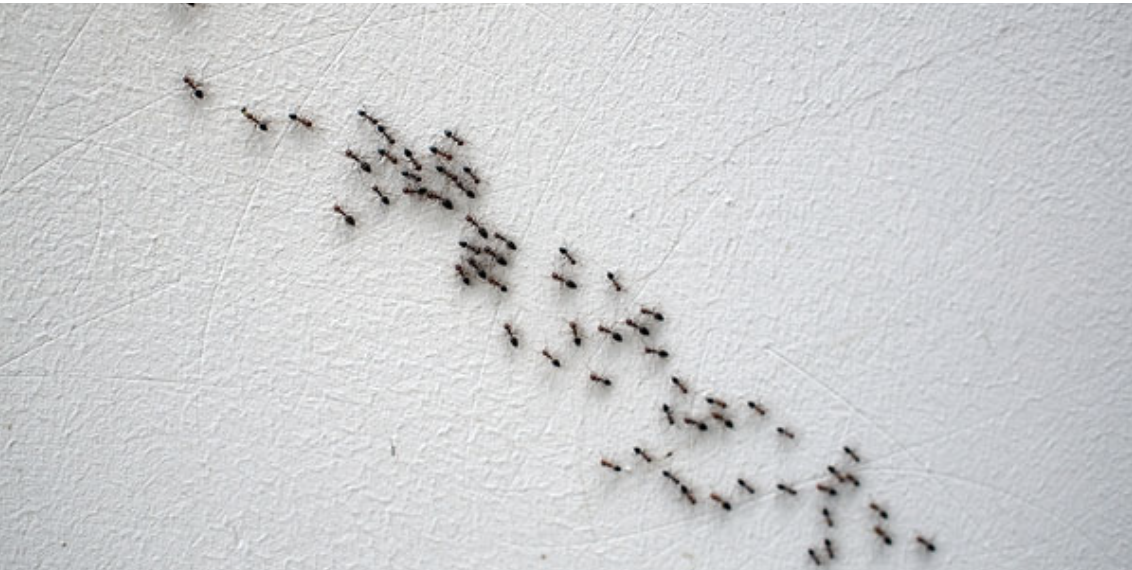 Ants path on a wall